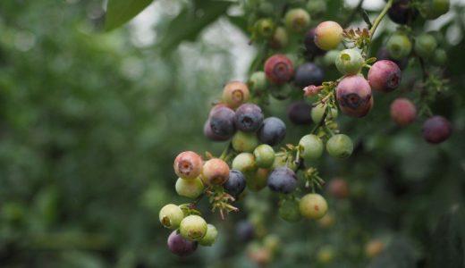 【オーストラリアの旅】ブルーベリー狩り: Clyde River Berry Farm